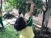 ccdc-legaspi-calamansi-fruit-picking-image_003